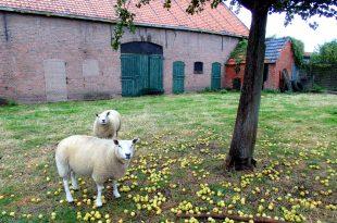 boer zoekt vrouw schapen